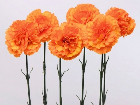 Oranje 3